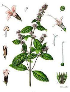 250px-mentha__piperita_-_kohlers_medizinal-pflanzen-095.jpg